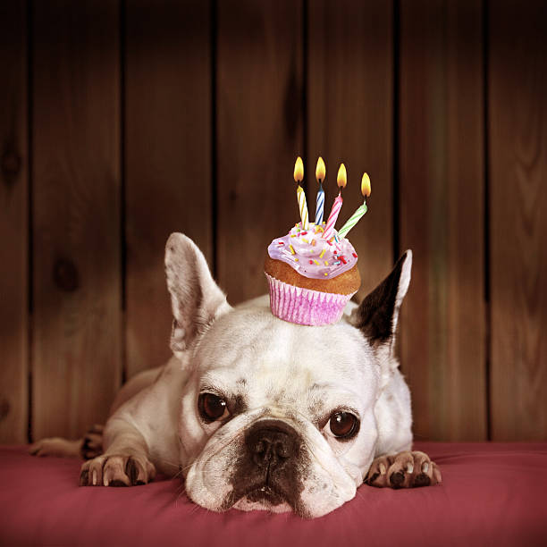 French bulldog with Birthday Cupcake