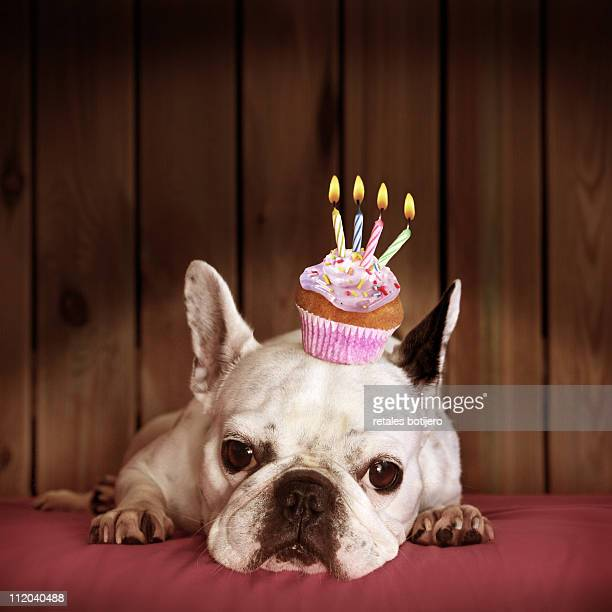 french bulldog with birthday cupcake - funny birthday stock photos and pictures