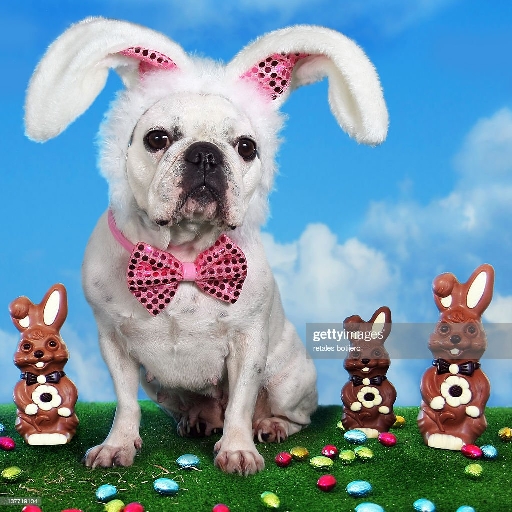 French bulldog with bunny ears with chocolate bunnies and Easter eggs.