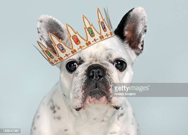 French bulldog with crown