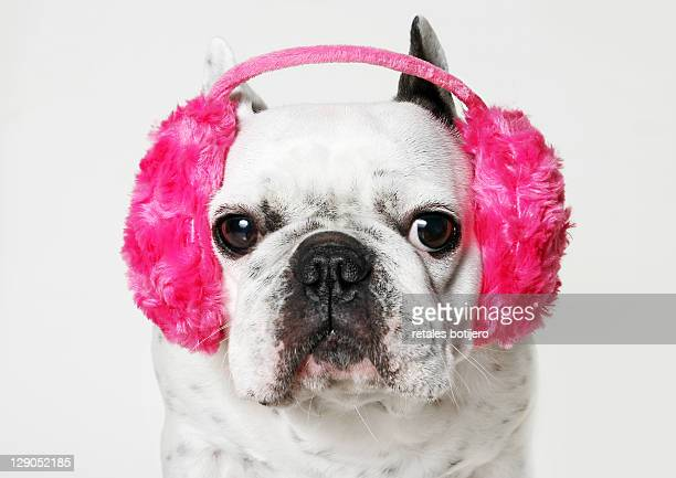 French bulldog with ear roses on white background