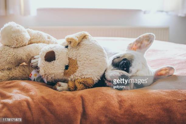 french bulldog with her teddy bear on bed - teddy bear stock pictures, royalty-free photos & images