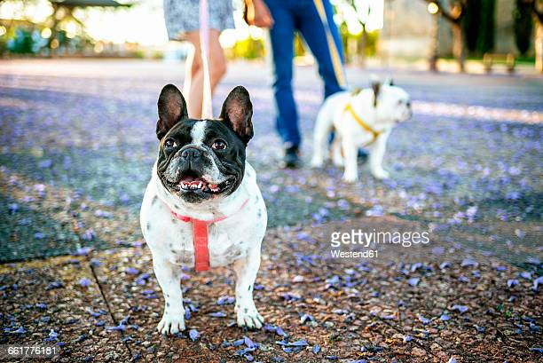 French bulldog with other dog and owners in background