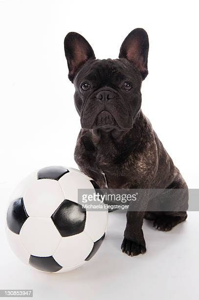 French Bulldog with soccer ball