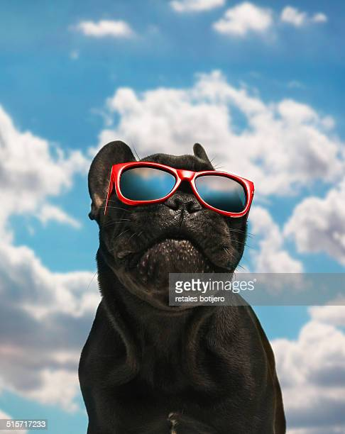 French bulldog with sunglasses