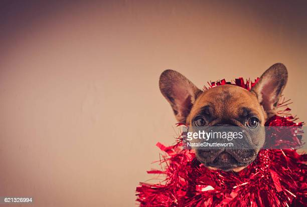 French Bulldog wrapped in tinsel