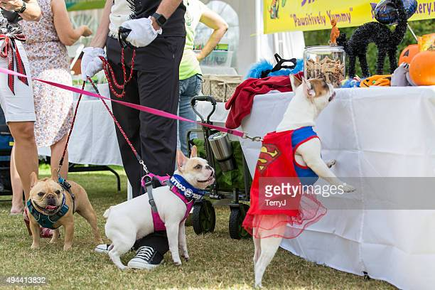 french bulldogs looking for treats at an event - humane society stock pictures, royalty-free photos & images