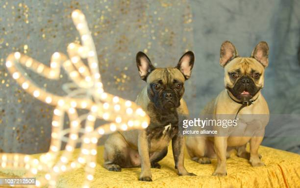 French bulldogs Lulu and Joshi look into a professional animal photographer's camera during a photo shoot at the Christmas party at the animal...