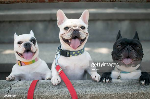 french bulldogs - three animals stock pictures, royalty-free photos & images