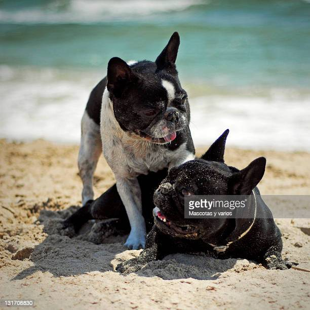 French bulldogs playing on beach
