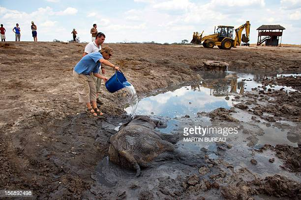 French CNRS researchers Herve Fritz and Hugo Valls , monitor a recovery of a baby African elephant on November 18, 2012 at Hwange National Park in...
