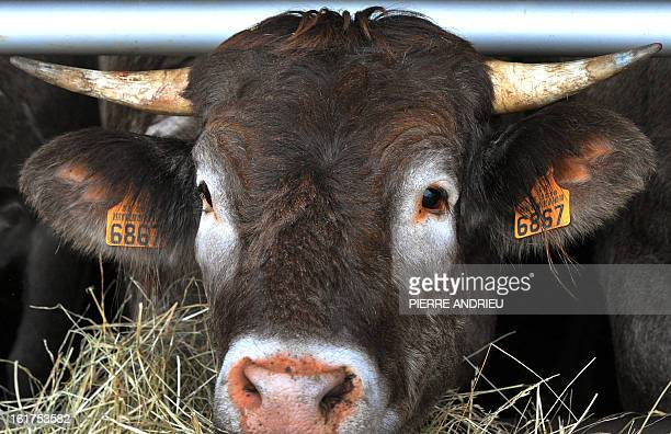 French cow with identity tag is pictured on February 14 in a farm in Arveyres near Bordeaux southwestern France The young breeder Berenice Walton...
