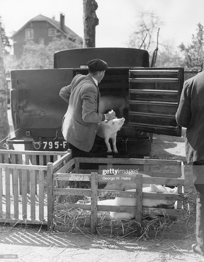 A French Farmer Loading Livestock To Bring To Montrevel Cattle