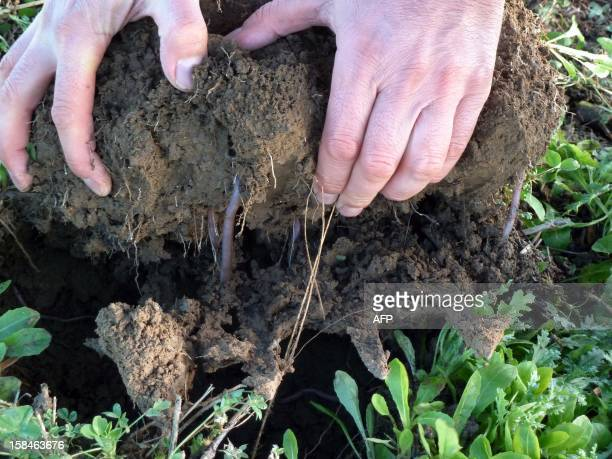 French farmer Vincent Baron shows earthworms in a clod of one of his fields on December 4 2012 near Thouars Some farmers abandon intensive farming in...