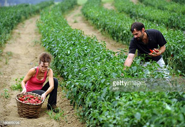 French farmers Panpi Olaizola and Leire Ithurralde pick organic chili peppers on August 21 2012 in Espelette southwestern France IROZ