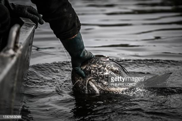French fisherman pulls out a sheatfish on the Dordogne river near Mauzac-et-Grand-Castang on April 20, 2021. - In Dordogne, targeted fisheries of...