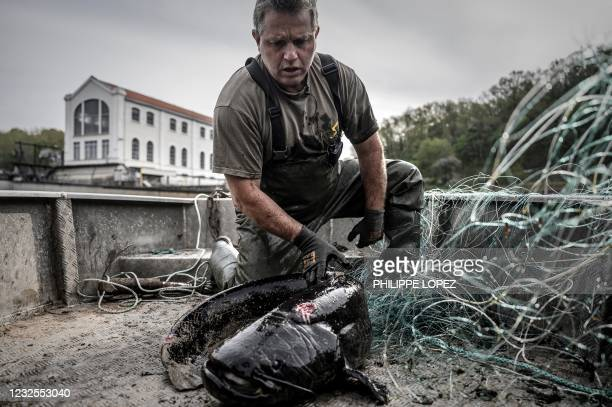 French fisherman releases a sheatfish from a fishing net on his boat on the Dordogne river near Mauzac-et-Grand-Castang on April 20, 2021. - In...