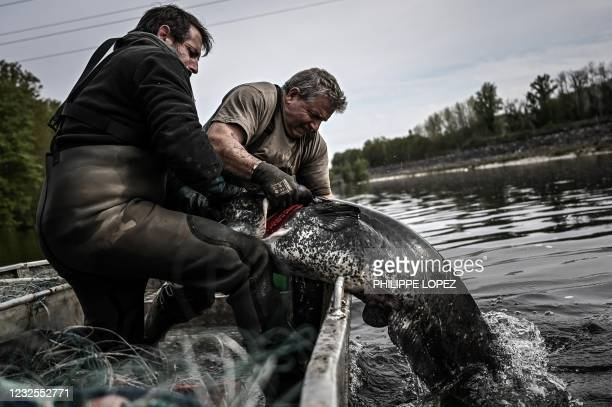French fishermen pull out a sheatfish from the waters of the Dordogne river near Mauzac-et-Grand-Castang on April 20, 2021. - In Dordogne, targeted...
