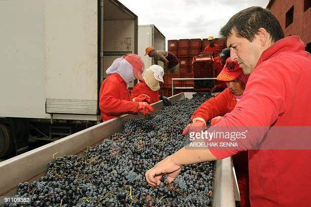French Jacques Poulain a wine specialist from Bordeaux who heads the Ferme Rouge domain in Had Brachoua 70 kms south of Rabat sorts grapes on...