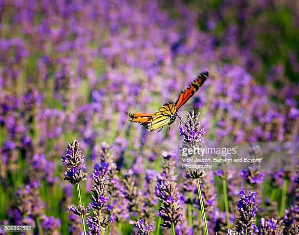 French Lavender Blooms and a Butterfly at Lavender by the Bay, East Marion, Long Island, NY