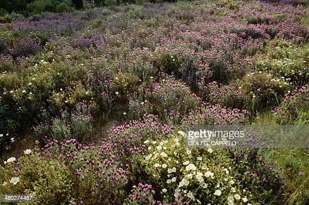 French Lavender Lamiaceae Gennargentu Sardinia Italy