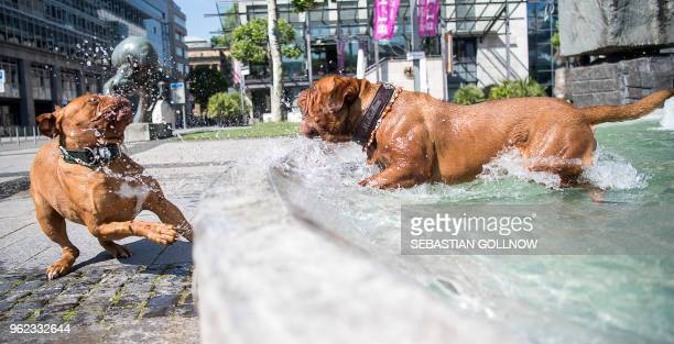 French Mastiff 'Moehrchen' takes a bath in a water well next to French Mastiff 'Eva' in Stuttgart southwestern Germany on May 25 2018 / Germany OUT