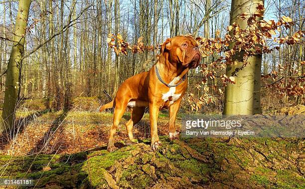 French Mastiff On Wood Against Bare Trees