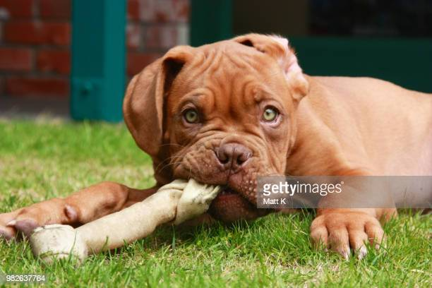 French Mastiff Stock Pictures Royalty