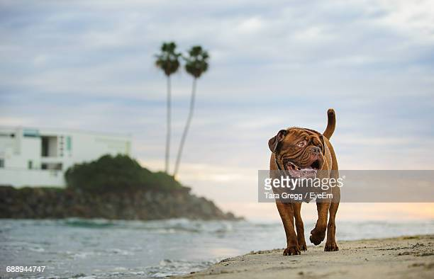 French Mastiff Walking On Shore At Beach Against Sky