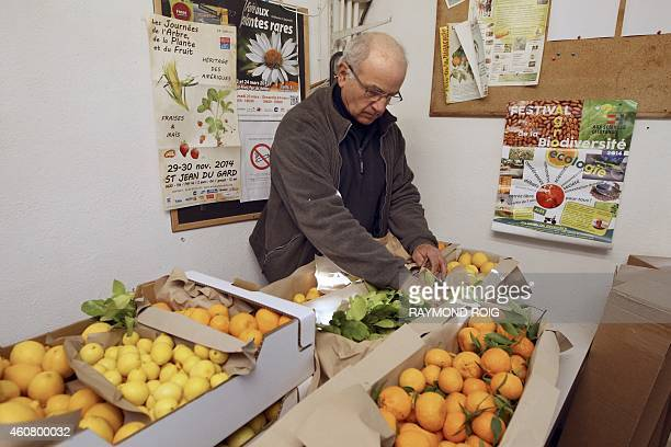 French nurseryman Michel Baches prepares Australian Finger Lime also know as 'lime caviar' on December 23 2014 in Eus southwestern France AFP PHOTO /...