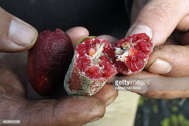 French nurseryman Michel Baches shows Australian Finger Lime also know as 'lime caviar' on December 23 2014 in Eus southwestern France AFP PHOTO /...