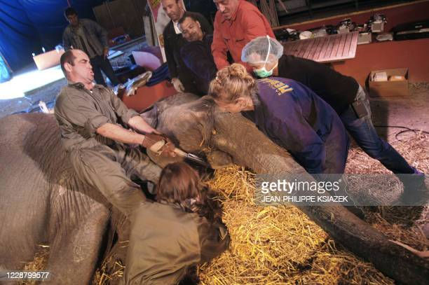 French ophtalmologist Laurent Bouhanna German professor Christine Lendl help set 41yearold female elephant Lechme on a haybed at Medrano circus 19...