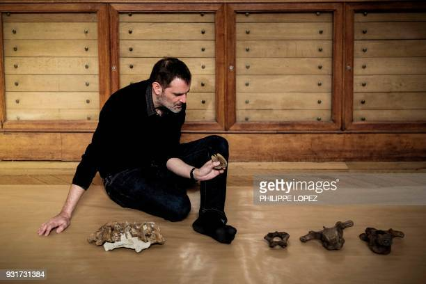 French paleontologist Ronan Allain arranges the bones of the skeleton of an edmontosaurus regalis a species of combcrested hadrosaurid dinosaur being...