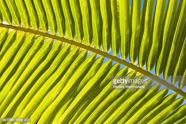 French Polynesia, Bora Bora, Palm leaf, close-up (full frame)