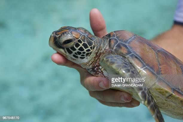 French Polynesia, Leeward archipelago, Bora Bora island, hotel Meridien, Center for disabled tortoises managed by Sebastien Goutenegre Polynesie...