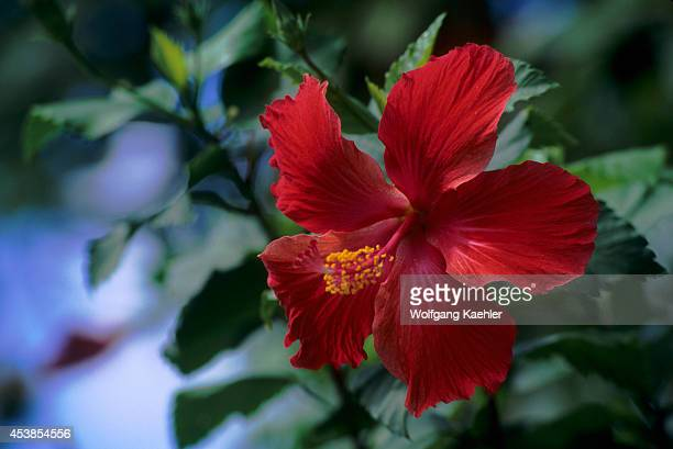 French Polynesia Society Islands Bora Bora Red Hibiscus Flowers