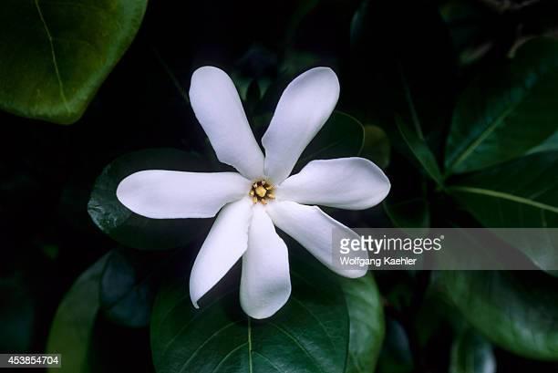French Polynesia Society Islands Huahine Tiare Flower