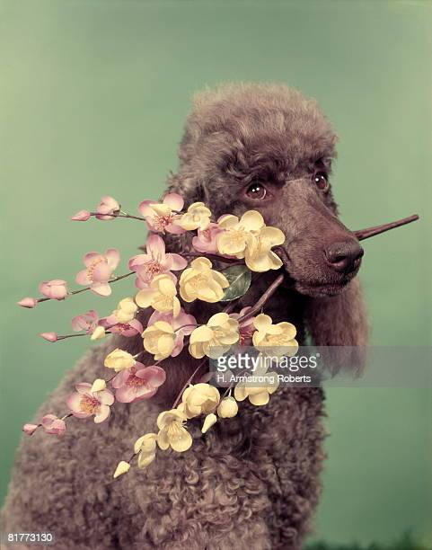 french poodle holding flowers in mouth. - image stock-fotos und bilder
