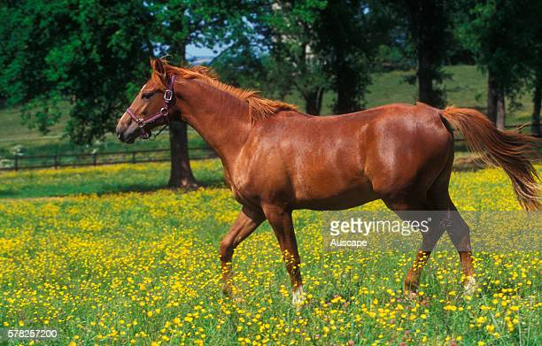 French saddle horse Equus caballus sometimes called Selle francais a breed known particularly for equable temperament France