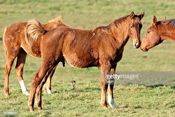 French Saddlebred Horse French Saddle Horses Foals French SaddleHorse Equid Mammal