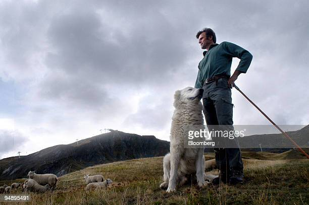 French shepherd Hubert Covarel guards his sheep near Le Corbier France Wolves have returned to the Alps after being absent in France for 70 years and...