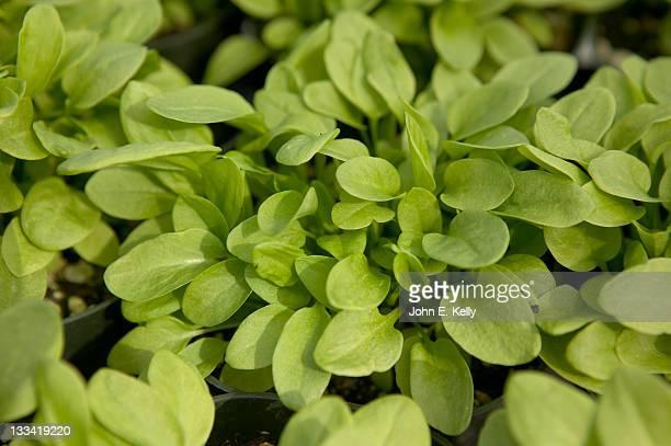 French Sorrel Herb