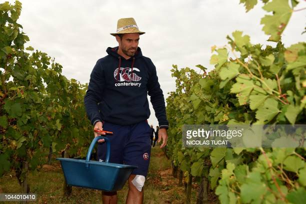 French Top14 Rugby union club BordeauxBegles' Australian flyhalf Brock James and team mates harvest grapes at the Chateau Eyquems which produces...