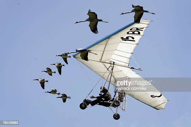 French ultralightplane pilot Christian Moullec performs with his trained Barnacle geese and cranes over Bex airfield during the Switzerland's largest...