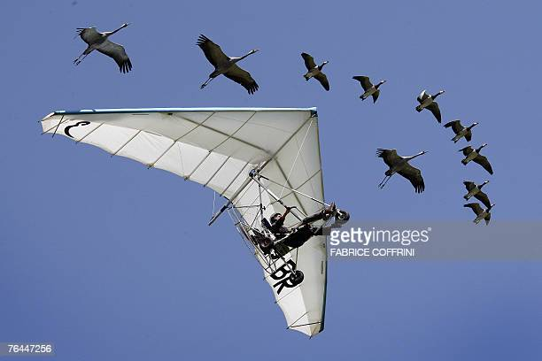French ultralightplane pilot Christian Moullec performs with his trained Barnacle geese and cranesover Bex airfield during Switzerland's largest...