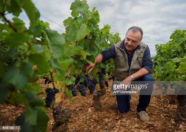 French wine maker Dominique Gallois checks Pinot Noir grapes in his vineyard 'Combe aux moines' a vintage GevreyChambertin Burgundy wine on September...