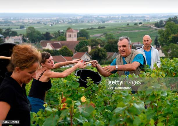 French wine maker Dominique Gallois takes part in the harvest of his vineyard 'Combe aux moines' a vintage GevreyChambertin Burgundy wine on...