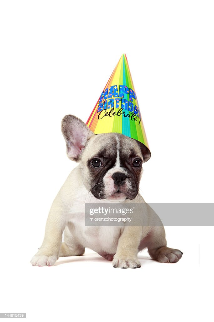 Frenchie Wearing Birthday Hat Stock Foto