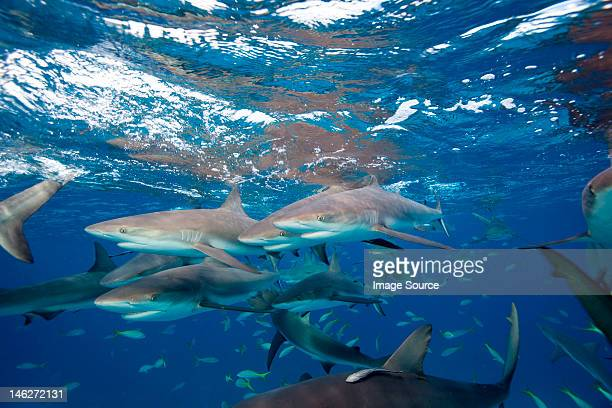 frenzy of caribbean reef sharks - reef shark stock pictures, royalty-free photos & images