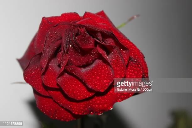 Fresca Rosa Roja
